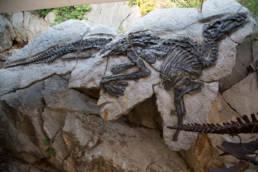 adlosauro Antonio; dinosauro Friuli; area paleontologica del Villaggio del Pescatore